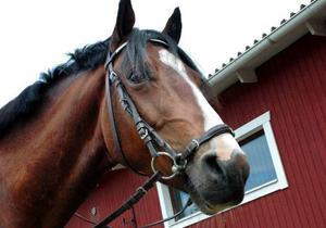 Ponnyn Calippo har Alexandra Esbjörnsdotter utbildat tillsammans med Elin Edström. I dag är han fem år och är deras stora hopp i tävlingen Krafft Ungponny 2009, som motsvarar SM.