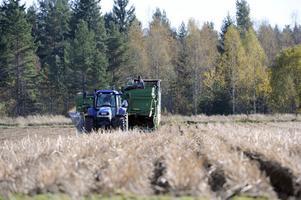 Kristian Willman kör traktorn med den stora potatisupptagningsmaskinen.