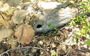 En av de kraftiga aspstammarna med bohål som nu ligger på marken. Foto: Sylvia Kjellberg
