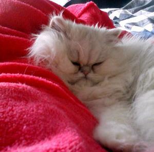 Trots att Smoothie spinner gott åt den slappa stunden i sängen kan man lätt tro att hon är riktigt, riktigt sur. Men matte Ulla intygar att stunden som här fångats på bild är bådas favoritstund på dagen.