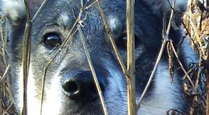 Tog denna bild på våran jämthund när hon kollade in nåt djur som sprang iväg från oss, när jag kom och gick med våra tre hundar.