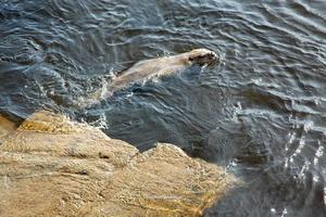 SIMMAR. Bävern simmar ut i det strömmande vattnet, men den orkar inte simma länge innan de söker sig upp på stenen igen.