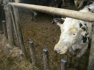 Stinkande pölar av urin och smuts                          mötte länsstyrelsens personal när de kom till bondgården. Foto: Privat