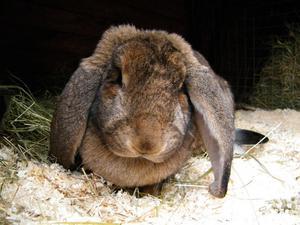 Mjuk och go är förstås kaninen Bris som deltar i djurvisningen.