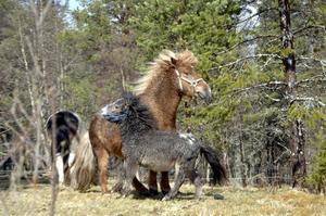 Små hästar. Mini Shetlandsponnyn Jasmine är en liten häst, men stor i jämförelse med Alladin till höger.