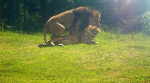 Den här bilden tog jag när vi var på besök i Eskilstuna djurpark häromdagen. Lejonhannen gjorde några tappra försök med sin ganska ointresserade hona, men fick ge upp till slut.