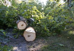 Två lönnar har avverkats i Skolparken, i centrala Hudiksvall.