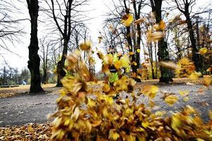 lövblåsare. Nu ska löven bort från Gävles gator. Kenneth Andersson från Markbyggarna jobbar nu dagligen med att blåsa ihop löv i högar.