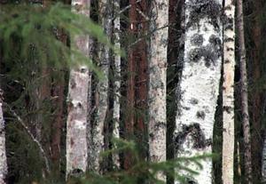Granen får ge vika för björken när nya våtmarker anläggs.