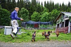 Samtliga hönor börjar ivrigt susa omkring Peter Blombergssons fötter. Det är matdags.