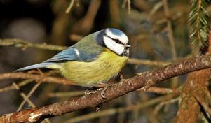 Blåmesen är en av de vanligaste vinterfåglarna.