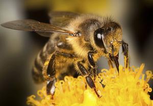 Om bina får behålla lite av sin honung som vinterföda klarar de att skydda sig bättre mot sjukdomar och bakterier, menar forskare.    Foto: Shutterstock