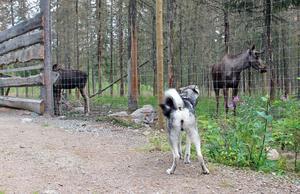 Kvannildalens hundar var på Älgparken i Ockelbo. Dem är de enda i Sverige som erbjuder den här typen av älghundträning.