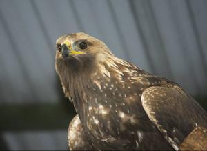 Om några dagar räknar Åke Netterström att örnen har blivit i så bra skick att den kan släppas ut i det fria igen.