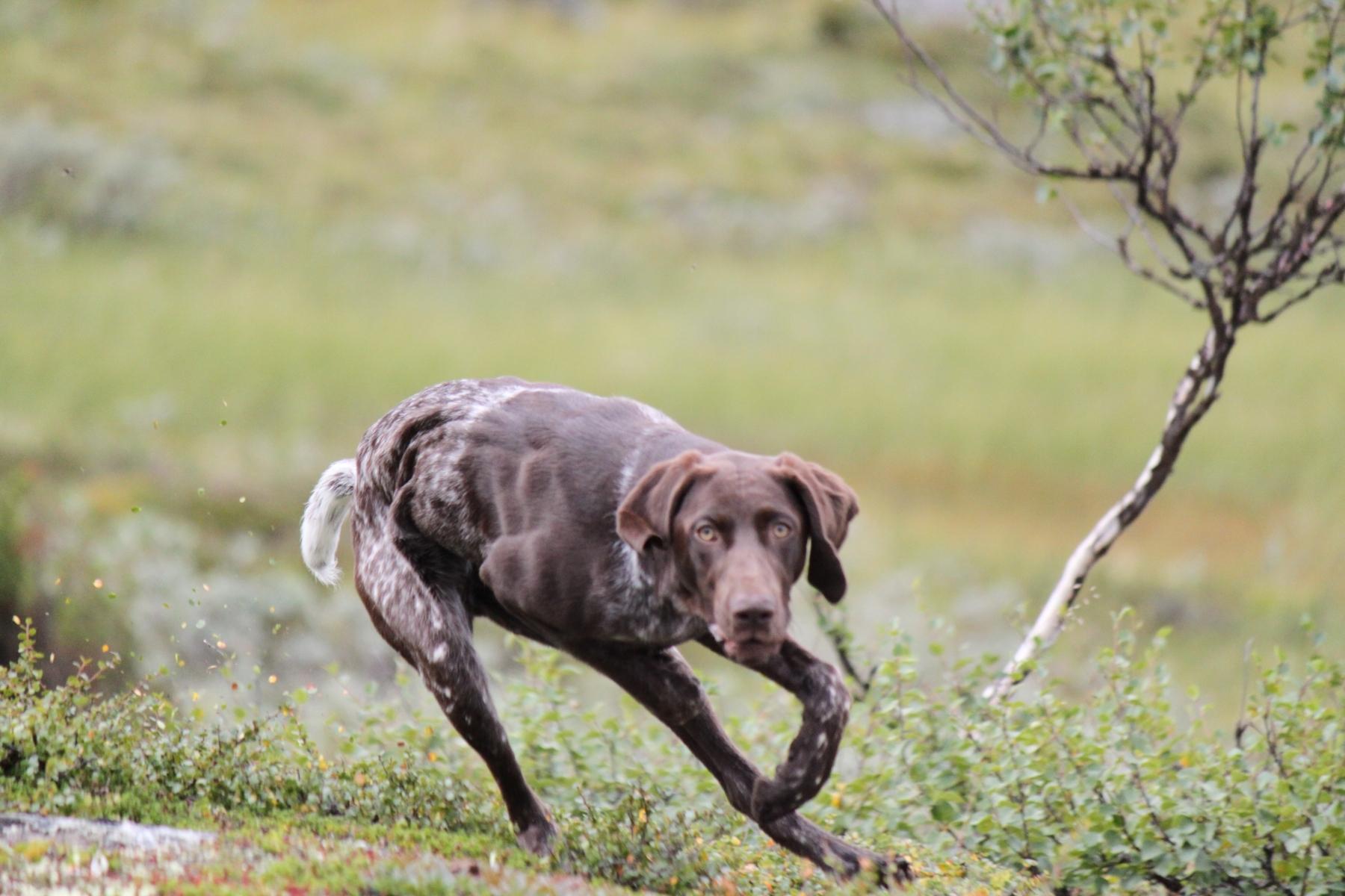 Norska renar far bota i sverige