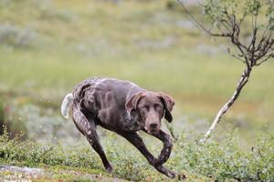 Mannen släppte sina hundar i direkt anslutning till renarnas kalvningsland.