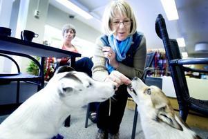SEX-ÅRSKALAS. Foxterriern Kenny firar sin sjätte födelsedag på hundfiket i Sandviken. Matte Åsa Lorenz bjuder Ludde på hundchoklad. Kenny är avvaktande