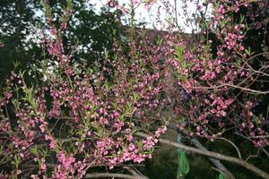 Njutar av dom vackra blommorna som persikoträdet har, otroligt att det blommar så... Hoppas åter igen att det blir mycket persikor.