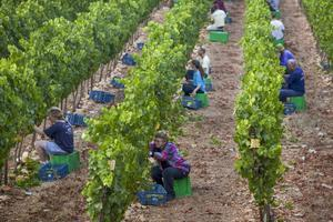 På kibbutzen Tzuba skördas Chardonnaydruvor som senare ska bli till vin. Många kibbutzer har gått igenom radikala förändringar de senaste åren för att anpassa sig till dagens samhälle.    Foto: Menahem Kahana