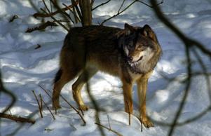 Människor måste känna att besluten om rovdjuren fattas nära dem – inte i Stockholm eller Bryssel, skriver debattörerna.Foto: Scanpix