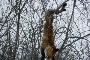 Tog skidtur på Mälaren då jag såg denna stackars räv hängandes i buskarna