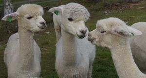 Två alpackor i samspråk medan den tredje lyssnar intresserat