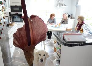 Nu blommar kallan. Ilva Persson, Kaija Remonen och Rose-Marie Gustafsson. Och hunden Hilda.