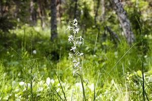 Bredvid ängen växer nattviol och andra vilda orkidéer, vilka är fridlysta i Sverige.