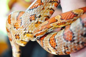 Här är majsormen Bentley, en av ormarna som besökarna fick prova på att klappa.
