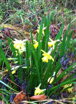 Eva Brüdigam i Salsån har blommande påskliljor vid vägkanten – i november.