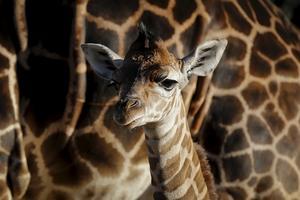En endast fyra dagar gammal babygiraff på Buenos Aires zoo i Argentina.