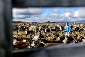 Hösten har kommit till fjällen. Nu är det dags för Nejla Sparrok Jonasson från Tossåsens sameby att skilja ut de renar som ska gå till slakt.