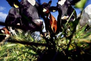 Livsmedelsverket vill skärpa reglerna kring opastöriserad mjölk.