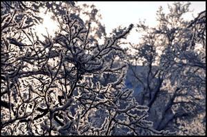 Frosten: Bild är tagen från mitt köksfönster ut över Campusområdet under den iskalla och frostfyllda perioden tidigare i vinter 2010. Foto: Carl Fredriksson