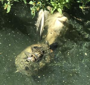 Sköldpaddan simmade runt.