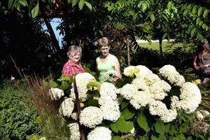 – Jag är fuchsia-tokoman! Jag saknar att få se Ellerts underbara stamfuchsior i trädgårdshandeln, säger Stina Eriksson och Maria Skog från Hedesunda. I förgrunden syns Hydrangea Arborescens, även kallad Annabelle.