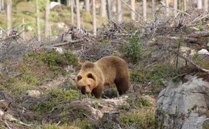Björnen under en promenad på ett hygge.