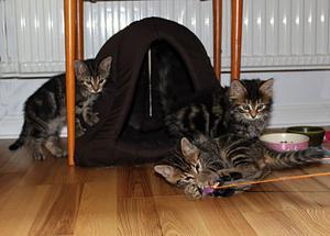 Kattungarna leker alla tre och gör det gärna inför publik.