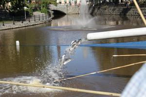 Fisketävling i Svartån och det fylldes på med öring.