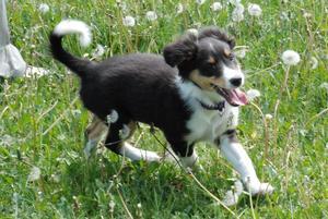 Det här är vår blandrasvalp Lizzy på språng i grönskan. Lizzy är tre månader gammal.