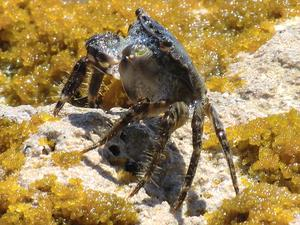 Krabban satt och pusade sig fin,vid en strand på Cypern.
