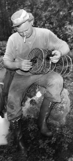 Ort: Sandarne   Rubrik: Jodå, det fanns kräftor i år också. Oxhjärta och siklöja gav fångst.   Bildtext: Lennart Treard fångade kräftor vid Pipsjön i Sandarne åt HT. Det gällde att snabbt få upp ett par stycken. Och det lyckades verkligen Lennart med.