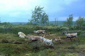 Statens fastighetsverk har fått fyra förfrågningar om friköp av mark på renbetesfjällen i Ljusnedal. Foto: Jennie-Lie Kjörnsberg
