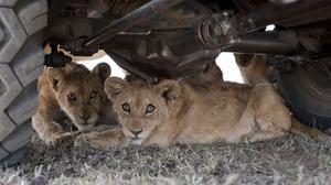 De små lejonen har lärt sig att det finns skön skugga under bilen.
