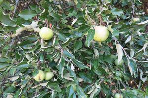 Det är alldeles fullt av äpplen på trädet nu. Vinterfrukt som helst ska sparas ett tag efter att de plockats.