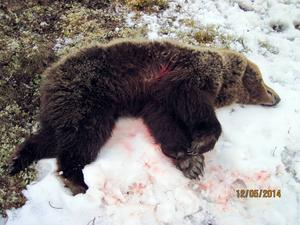 Den skjutna björnhonan.
