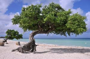 Det karaktäristiskt lutande Divi Divi-trädet är en symbol för Aruba. Trädarten växer bara här.