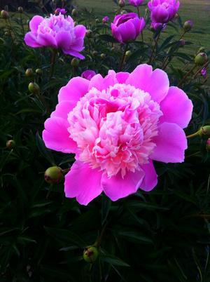 Tog en biltur till Tidö Slött en fredagskväll och fotade de vackra blommorna som växer runt slottet, bedårande vackert! Denna bild vilar jag nu ögonen på i min iphone som den är tagen med, sjukt hur bra bilder det blir med dagens telefoner.