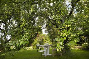 Äppelträd och vila i Monica Yngvessons trädgård i Salbohed nära Sala.