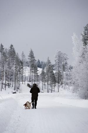 Vargjakt i Nås vintern 2011. Men i vinter ser det inte ut att bli någon licensjakt på varg.